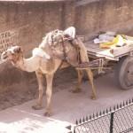 Kamel in Mandawa
